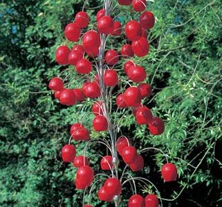 Raspberry-Chandelier_-Neil-