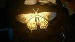 Ginger Bottari, ButterflyWIP